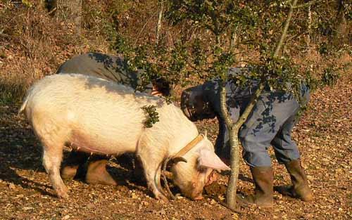 pig-truffler: wild mushroom picking