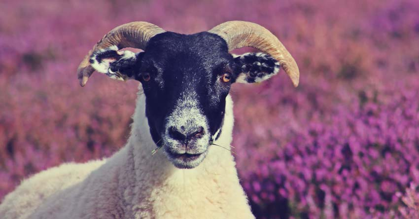 picture of a goat or ram in a lavender field